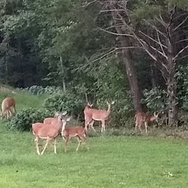 Some of the deer that live in the park.