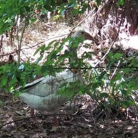 Random Goose?