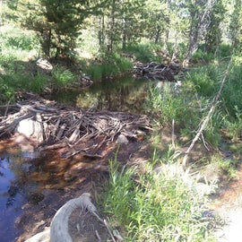 beaver dams in the area