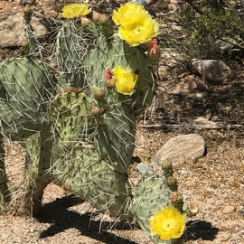 Flowering cacti are everywhere til you get to the divide of vegetations