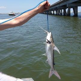 Gaftopsail catfish