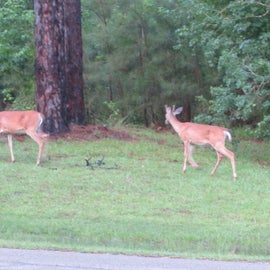 Deer came out to feed shortly before dark.