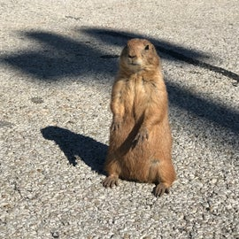 Prairie Dog Town is one of the best areas I have visited in way of up close personal encounters with animals.    In this area, you can get some amazing interaction with the Black Tailed Prairie Dogs of the area, see how they build their homes and hear their barking up close and personal.
