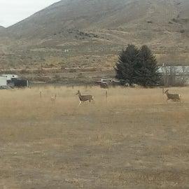Deer wandering thru the back of the camp.