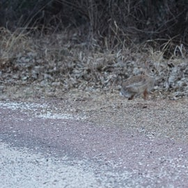 Cottontail bunny.