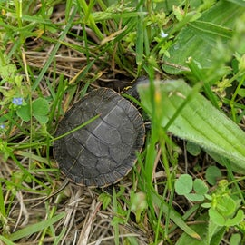 Turtle on the hiking path