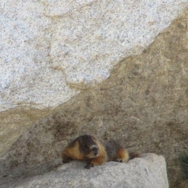 """Yellah bellied marmot!"" (Not sure if it's yellow bellied - just sounded like something Yosemite Sam would say.)"