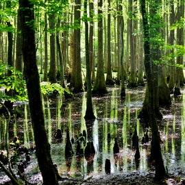Just a few steps off of Lassiter Trail and you can really experience the swamp.