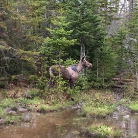 A young moose along Rte 16 in Errol