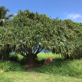 One of the many hala trees here to camp under