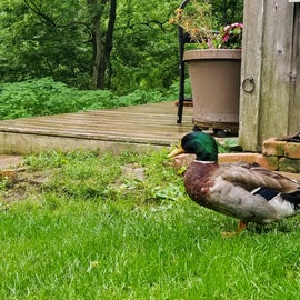 The male duck talks softly as he guards his mate, sitting on a nest of eggs nearby