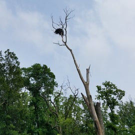 Eagles nest-were able to see a parent and young eagle.