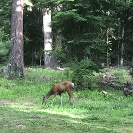 Deer were walking right through our campsite and didn't seem very afraid of humans.