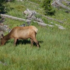 Elk near the campground