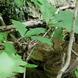 Timber rattle snake in the woods nearby.