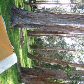 My tent under the eucalyptus.