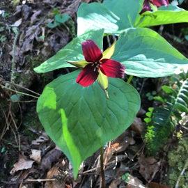 Red Trillium on Whittleton Arch Trail