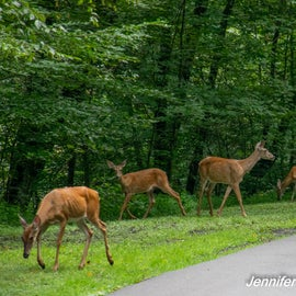 .... and more deer!