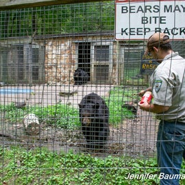 Caretaker putting honey and peanut butter on the bear enclosure.