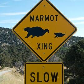 Marmot crossing