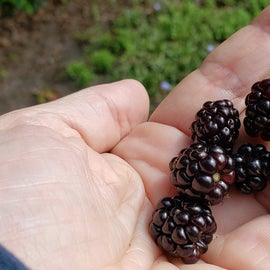 Mid August we gathered blackberries by the handfuls