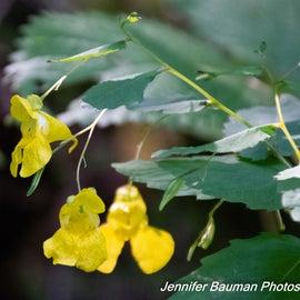 Yellow jewel weed