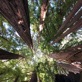 Redwood trees on the trail within Fernwood campground July 2019