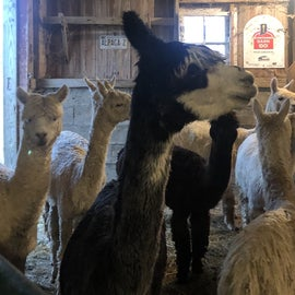 Inside the barn waiting to be fed