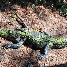 Nice alligator exhibit