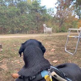 My dog enjoyed watching the wandering goats.