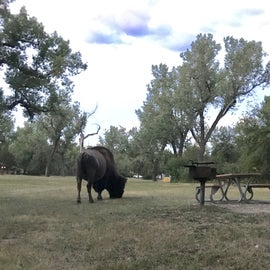 Bison are common visitors to the campground.