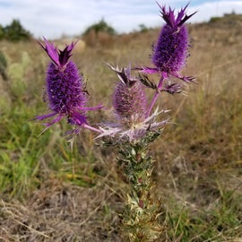 Eriogonum leavenworthii or Leavenworth's eryngo