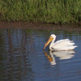 A pelican fishing