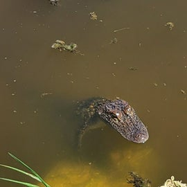 A gator in the marsh in front of our camper
