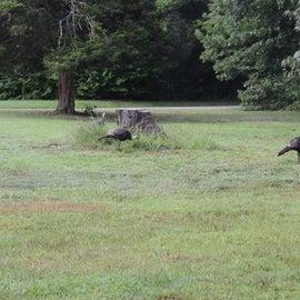 turkeys in our campsite
