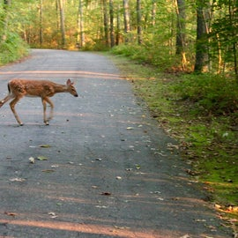 cute little fawn at sunset on the path to the beach