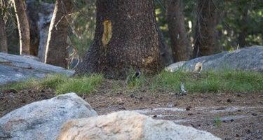 White Wolf - Yosemite National Park