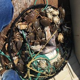 Frist carb trap we pulled up no keepers but plenty of crabs.