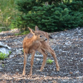 Baby Deer in the campground