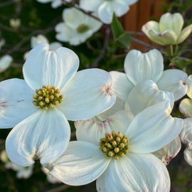 Dogwoods were blooming on the edge of the campground