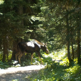 Moose encounter on the hike in.