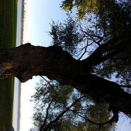 Biggest tree ever....