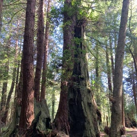 Redwoods in the campground