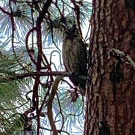 Great Horned owl near Klamath
