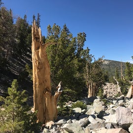 View from trail out of Wheeler Peak campground, within easy driving distance of Upper Lehman Campground. This trail goes through an ancient bristlecone pine forest. It's at 10,000 feet, so bring your oxygen!