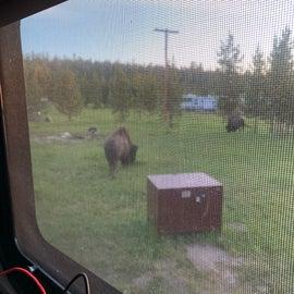 Bison around for breakfast