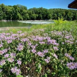 Bee Balm in bloom near Des Moines River in Jackson, MN.