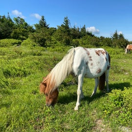 Can't hike any trails in Grayson Highlands without seeing at least one wild pony