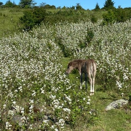 These flowering berry bushes are in every meadow...thus the bear warning signs when these bear fruit.