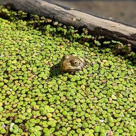 Pond frog!